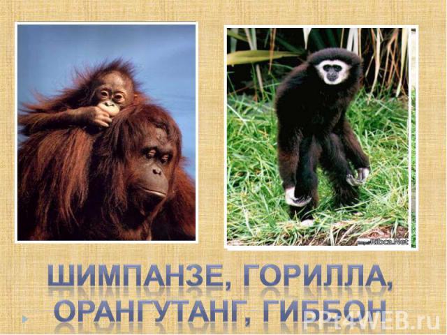 Шимпанзе, горилла, орангутанг, гиббон
