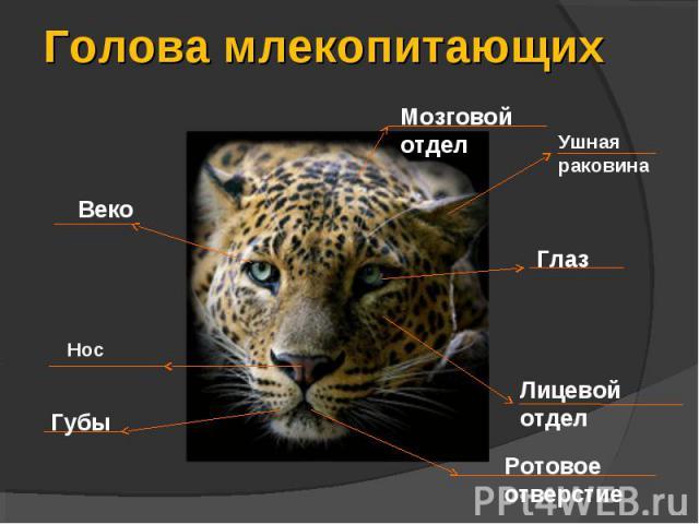 Голова млекопитающих