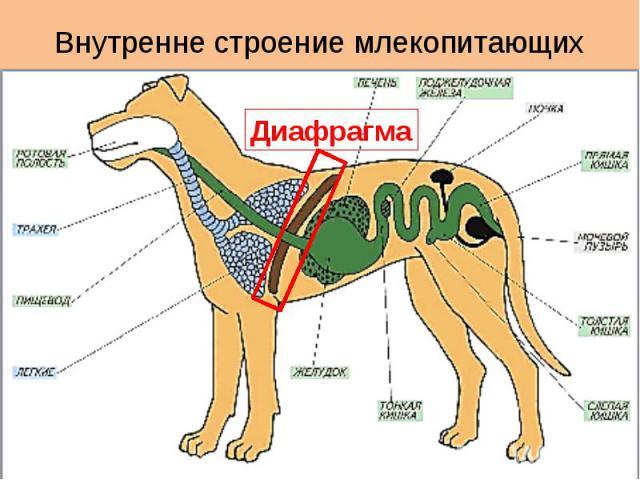 Внутренне строение млекопитающих