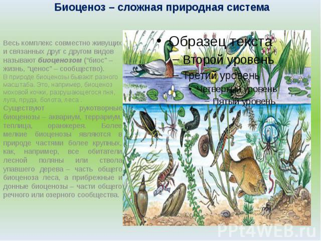 """Биоценоз– сложная природная система Весь комплекс совместно живущих и связанных друг с другом видов называют биоценозом (""""биос""""– жизнь, """"ценос""""– сообщество).В природе биоценозы бывают разного масштаба. Это, например, биоценоз моховой кочки, разру…"""