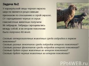 Задача №2.У каракульской овцы черная окраска шерсти является рецессивным признак