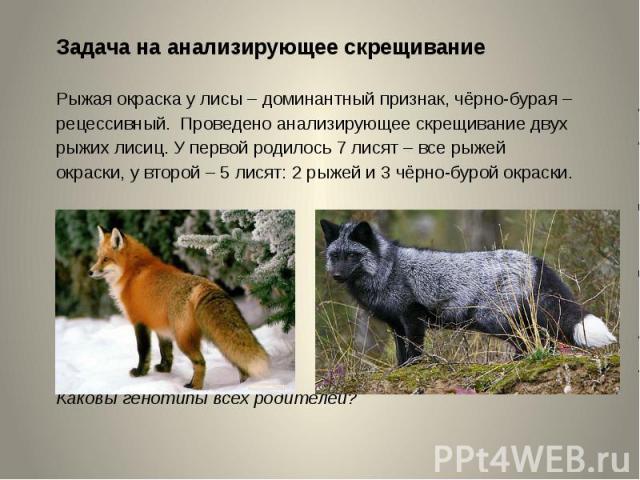 Задача на анализирующее скрещиваниеРыжая окраска у лисы – доминантный признак, чёрно-бурая – рецессивный. Проведено анализирующее скрещивание двух рыжих лисиц. У первой родилось 7 лисят – все рыжей окраски, у второй – 5 лисят: 2 рыжей и 3 чёрно-буро…