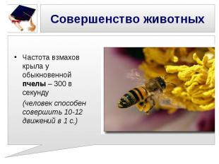 Совершенство животных Частота взмахов крыла у обыкновенной пчелы – 300 в секунду