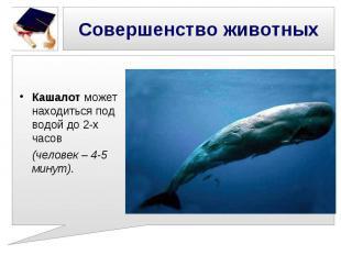 Совершенство животных Кашалот может находиться под водой до 2-х часов (человек –