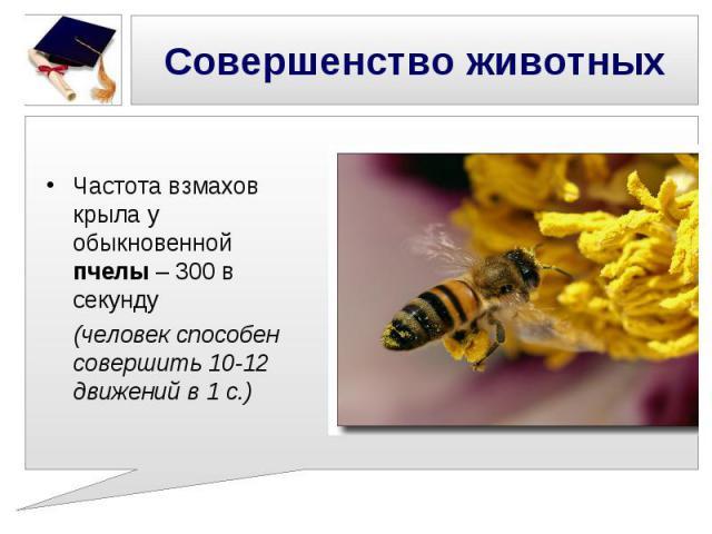 Совершенство животных Частота взмахов крыла у обыкновенной пчелы – 300 в секунду (человек способен совершить 10-12 движений в 1 с.)