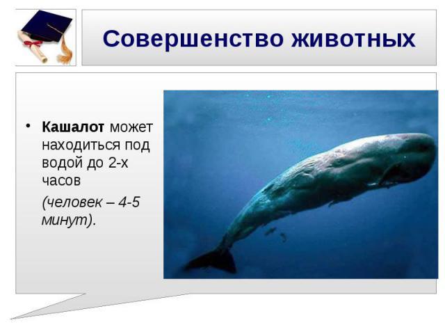 Совершенство животных Кашалот может находиться под водой до 2-х часов (человек – 4-5 минут).