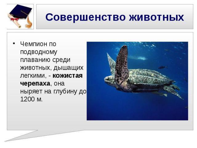 Совершенство животных Чемпион по подводному плаванию среди животных, дышащих легкими, - кожистая черепаха, она ныряет на глубину до 1200 м.
