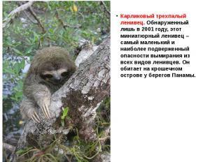 Карликовый трехпалый ленивец. Обнаруженный лишь в 2001 году, этот миниатюрный ле