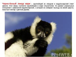 Черно-белый лемур вари – крупнейший из лемуров и мадагаскарский ответ шмелю. Это