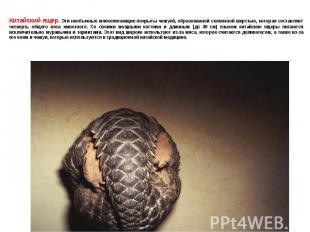 Китайский ящер. Эти необычные млекопитающие покрыты чешуей, образованной склеенн