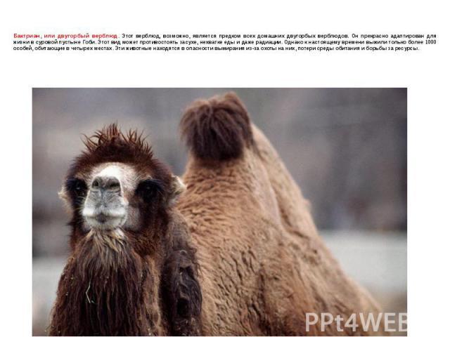 Бактриан, или двугорбый верблюд. Этот верблюд, возможно, является предком всех домашних двугорбых верблюдов. Он прекрасно адаптирован для жизни в суровой пустыне Гоби. Этот вид может противостоять засухе, нехватке еды и даже радиации. Однако к насто…