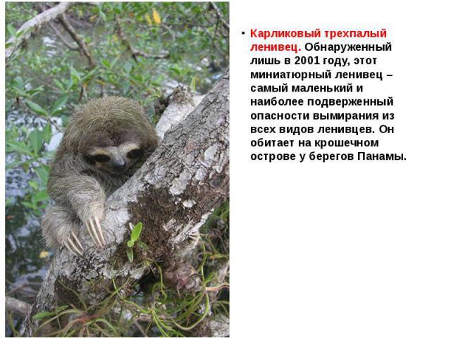 Карликовый трехпалый ленивец. Обнаруженный лишь в 2001 году, этот миниатюрный ленивец – самый маленький и наиболее подверженный опасности вымирания из всех видов ленивцев. Он обитает на крошечном острове у берегов Панамы.
