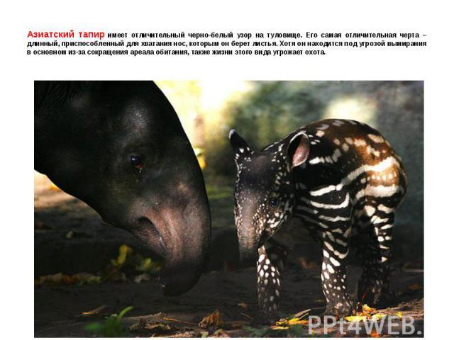 Азиатский тапир имеет отличительный черно-белый узор на туловище. Его самая отличительная черта – длинный, приспособленный для хватания нос, которым он берет листья. Хотя он находится под угрозой вымирания в основном из-за сокращения ареала обитания…