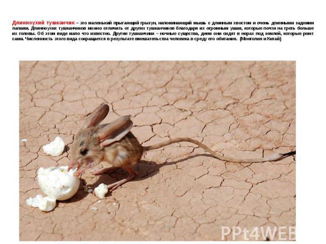 Длинноухий тушканчик – это маленький прыгающий грызун, напоминающий мышь с длинным хвостом и очень длинными задними лапами. Длинноухих тушканчиков можно отличить от других тушканчиков благодаря их огромным ушам, которые почти на треть больше их голо…
