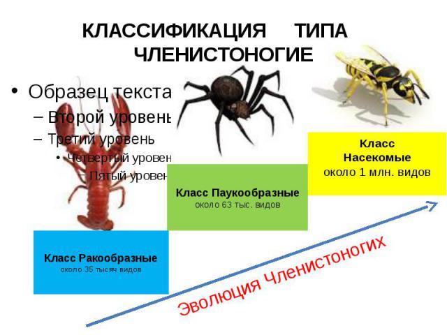 КЛАССИФИКАЦИЯ ТИПА ЧЛЕНИСТОНОГИЕ Класс Ракообразныеоколо 35 тысяч видов Класс Паукообразныеоколо 63 тыс. видов КлассНасекомыеоколо 1 млн. видов Эволюция Членистоногих