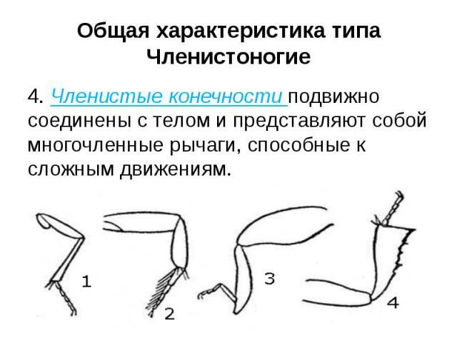 Общая характеристика типа Членистоногие 4. Членистые конечности подвижно соединены с телом и представляют собой многочленные рычаги, способные к сложным движениям.