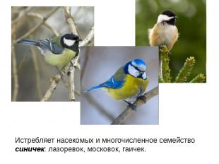 Истребляет насекомых и многочисленное семейство синичек: лазоревок, московок, га