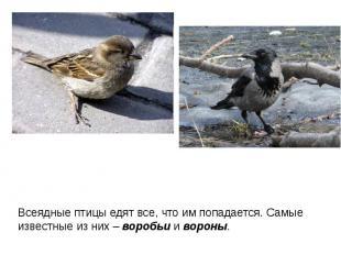 Всеядные птицы едят все, что им попадается. Самые известные из них – воробьи и в