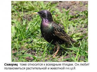 Скворец тоже относится к всеядным птицам. Он любит полакомиться растительной и ж