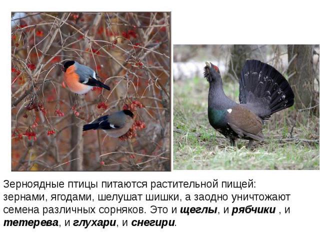 Зерноядные птицы питаются растительной пищей: зернами, ягодами, шелушат шишки, а заодно уничтожают семена различных сорняков. Это и щеглы, и рябчики , и тетерева, и глухари, и снегири.