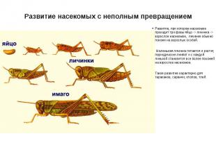 Развитие насекомых с неполным превращением Развитие, при котором насекомое прохо