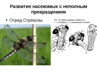 Развитие насекомых с неполным превращениемОтряд Стрекозы