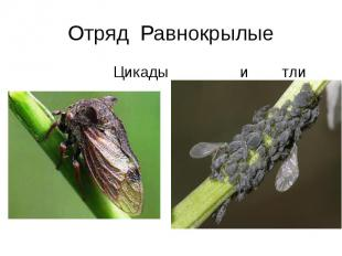 Отряд Равнокрылые Цикады и тли