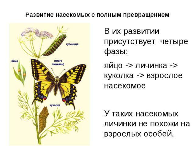 Развитие насекомых с полным превращением Вих развитии присутствует четыре фазы: яйцо -> личинка -> куколка -> взрослое насекомоеУ таких насекомых личинки не похожи на взрослых особей.