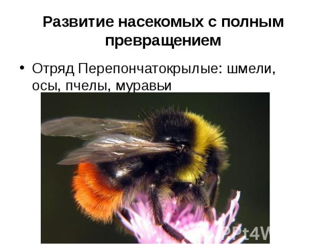 Развитие насекомых с полным превращениемОтряд Перепончатокрылые: шмели, осы, пчелы, муравьи