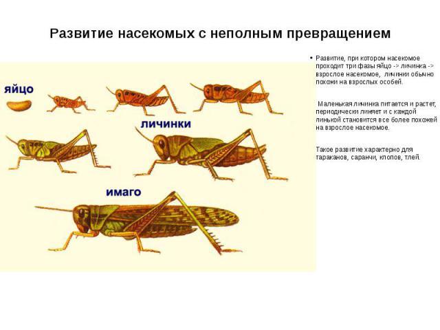 Развитие насекомых с неполным превращением Развитие, при котором насекомое проходит три фазы яйцо -> личинка -> взрослое насекомое, личинки обычно похожи на взрослых особей. Маленькая личинка питается и растет, периодически линяет и с каждой линькой…