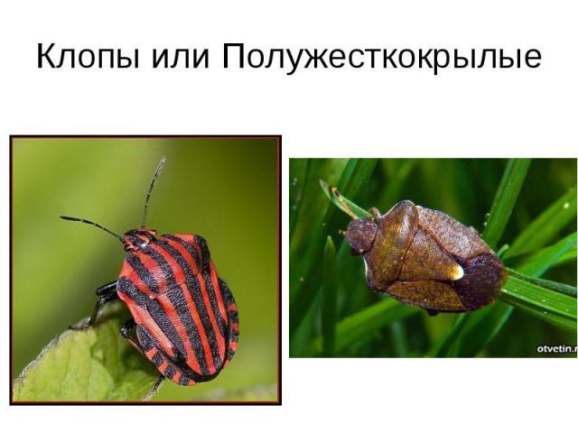 Клопы или Полужесткокрылые