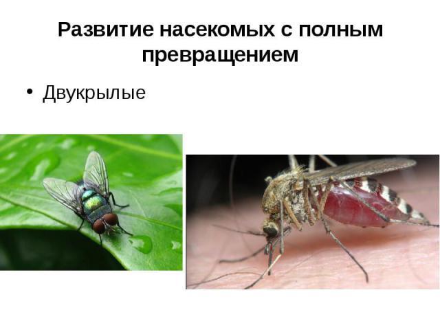 Развитие насекомых с полным превращениемДвукрылые