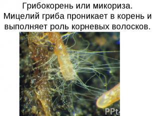Грибокорень или микориза.Мицелий гриба проникает в корень и выполняет роль корне