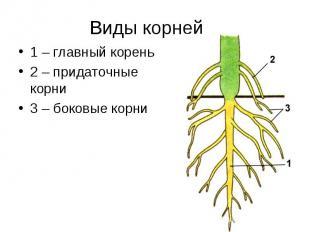 Виды корней 1 – главный корень2 – придаточные корни3 – боковые корни