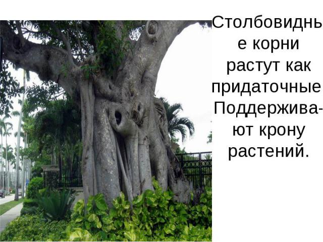 Столбовидные корни растут как придаточные. Поддержива-ют крону растений.