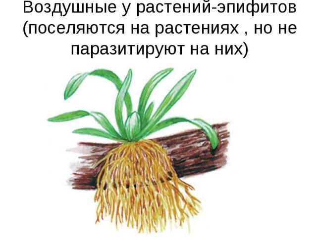 Воздушные у растений-эпифитов (поселяются на растениях , но не паразитируют на них)