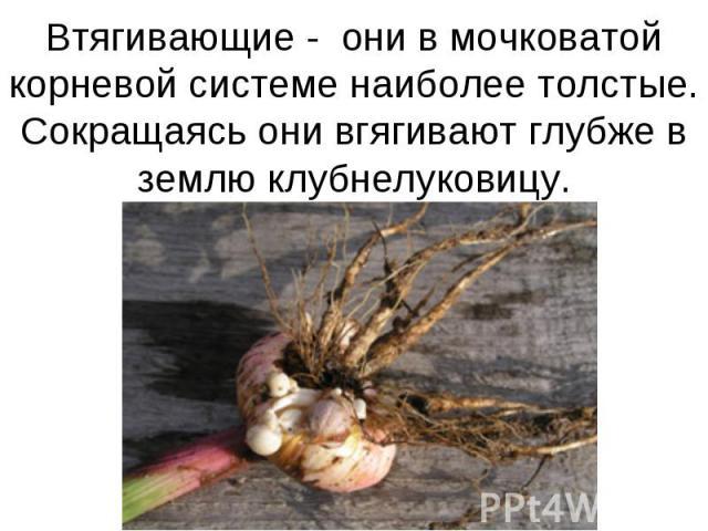 Втягивающие - они в мочковатой корневой системе наиболее толстые.Сокращаясь они вгягивают глубже в землю клубнелуковицу.