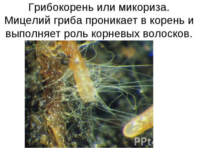 Грибокорень или микориза.Мицелий гриба проникает в корень и выполняет роль корневых волосков.