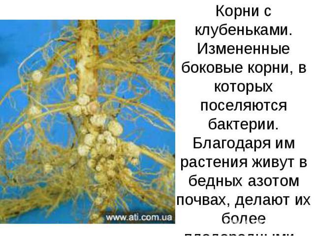 Корни с клубеньками. Измененные боковые корни, в которых поселяются бактерии. Благодаря им растения живут в бедных азотом почвах, делают их более плодородными.