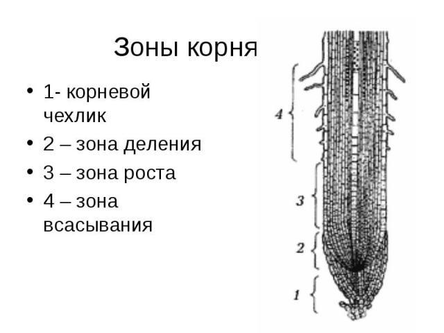 Зоны корня 1- корневой чехлик2 – зона деления3 – зона роста4 – зона всасывания