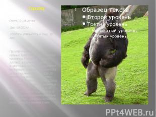 Рост 1,3-1,9 метра Вес: 68-200 кг Продолжительность жизни: 30 лет Горилла — самы