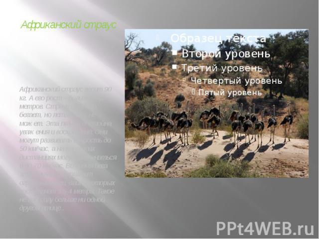 Африканский страус Африканский страус весит 90 кг. А его рост – больше двух метров. Страус отлично бегает, но летать он не может. Эта птица достойна уважения и восхищения. Они могут развивать скорость до 50 км/час, а на коротких дистанциях могут раз…