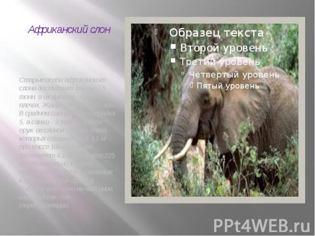 Африканский слон Старые особи африканского слона достигают массы 7,5 тонн, а их высота - 4 м в плечах. Живут слоны 60-70 лет. В среднем самцы весят порядка 5, а самки - 3 тонн. Главное оружие слонов - бивни, длина которых составляет 3-3,5 м при масс…