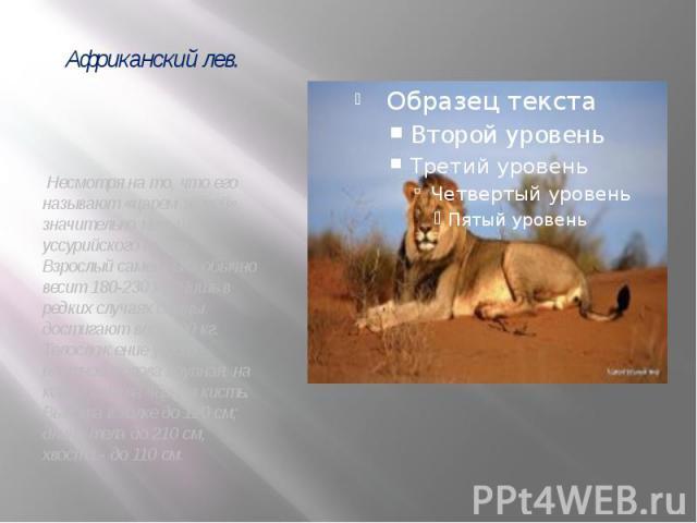 Несмотря на то, что его называют «царем зверей», значительно меньше уссурийского тигра. Взрослый самец льва обычно весит 180-230 кг. Лишь в редких случаях самцы достигают веса 200 кг. Телосложение у него плотное, голова крупная, на конце хвоста чёрн…