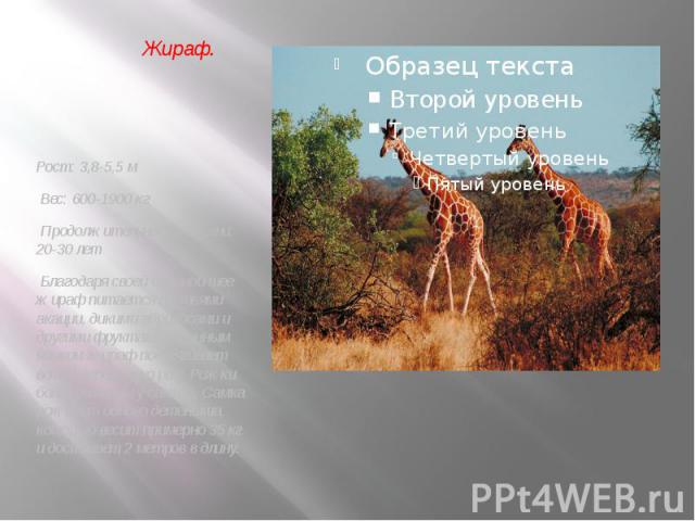 Рост: 3,8-5,5 м Вес: 600-1900 кг Продолжительность жизни: 20-30 лет Благодаря своей длинной шее жираф питается листьями акации, дикими абрикосами и другими фруктами. Длинным языком жираф подтягивает ветки деревьев ко рту. Рожки более развиты у самцо…