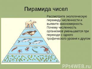 Пирамида чисел Рассмотрите экологическую пирамиду численности и выявите закономе
