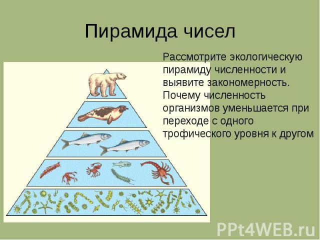 Пирамида чисел Рассмотрите экологическую пирамиду численности и выявите закономерность. Почему численность организмов уменьшается при переходе с одного трофического уровня к другом