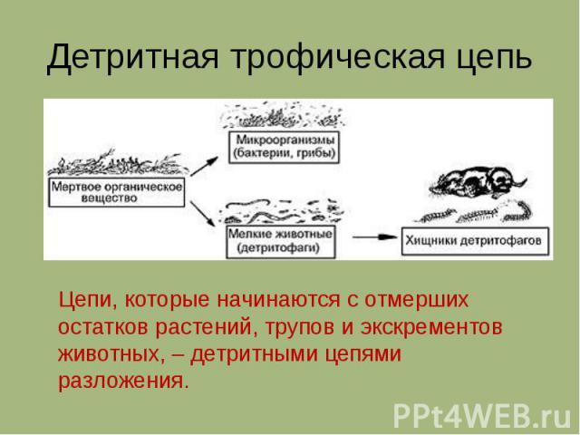 Детритная трофическая цепь Цепи, которые начинаются с отмерших остатков растений, трупов и экскрементов животных, – детритными цепями разложения.