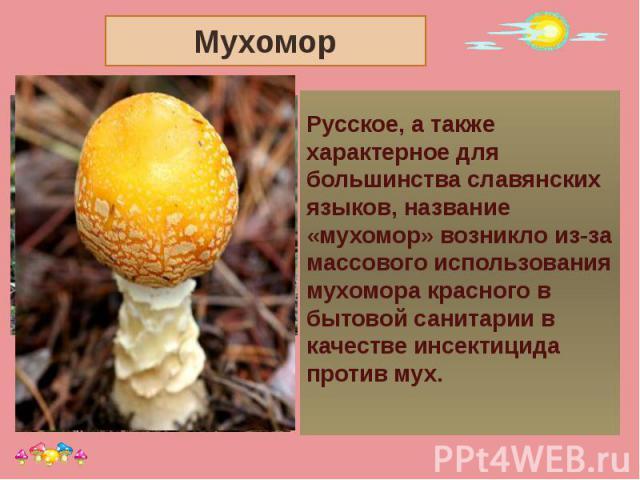 Мухомор Русское, а также характерное для большинства славянских языков, название «мухомор» возникло из-за массового использования мухомора красного в бытовой санитарии в качестве инсектицида против мух.