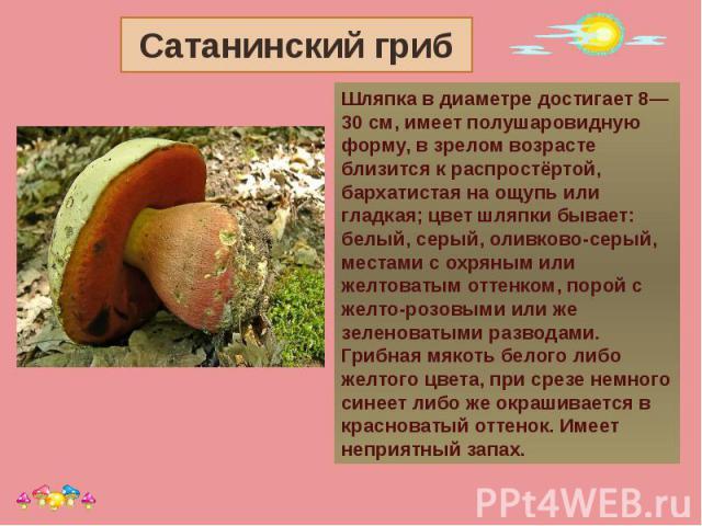 Сатанинский гриб Шляпка в диаметре достигает 8—30 см, имеет полушаровидную форму, в зрелом возрасте близится к распростёртой, бархатистая на ощупь или гладкая; цвет шляпки бывает: белый, серый, оливково-серый, местами с охряным или желтоватым оттенк…
